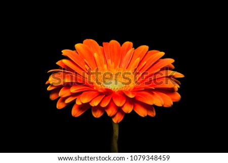 Orange Gerbera flower isolated on black background. Beautiful floral wallpaper