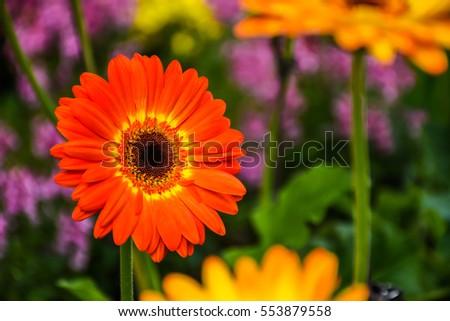 Orange Gerbera flower on the flower farm. Gerbera flower means innocent and strength, So for love mean