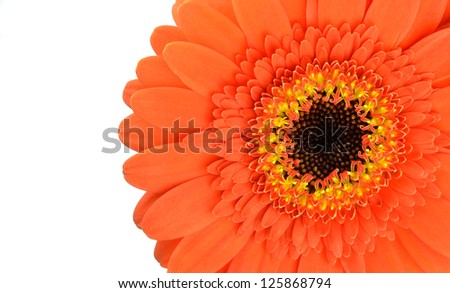 Orange Gerbera Flower Part Isolated on White Background