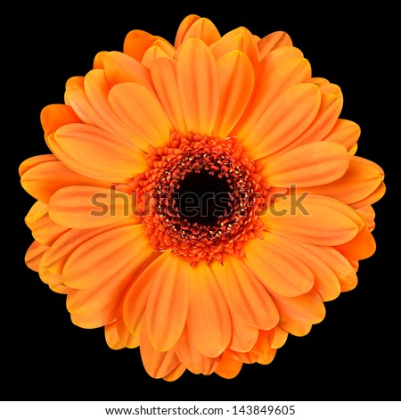 Orange Gerbera Flower with Black Center. Macro of Flower Isolated on Black Background