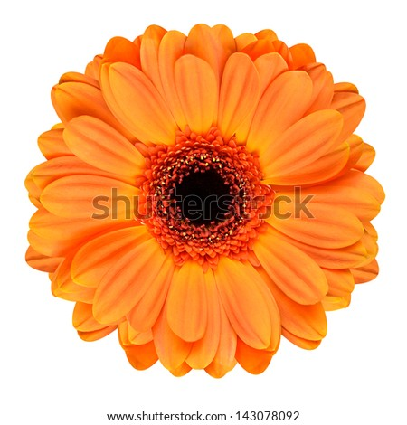 Orange Gerbera Flower with Black Center. Macro of Flower Isolated on White Background
