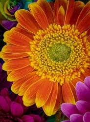 Orange  gerbera flowers with colorful gerbera flowers background.