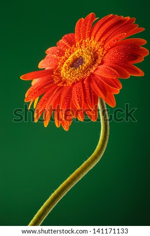 orange gerbera with stem on a green background