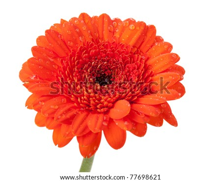 Orange gerbera with water drops. Isolated on white background