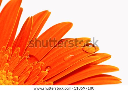 orange gerbera with water drops on the petals close-up