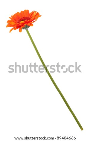 Orange gerberas on a long thin stem on a white background