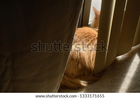 Orange ginger cat taking early morning sunbath between blinds and curtains while watching neighborhood activity through sliding glass doors #1333171655