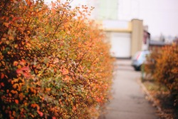 Orange gold autumn bushes background