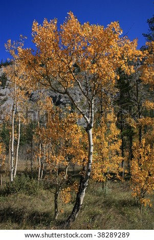 Orange/gold fall leaves on aspen/poplar tree, mountain in the background; bright blue sky; autumn colours; Alberta, Canada