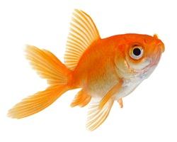 Orange Gold Fish Isolated on White Background