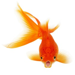Orange Gold Fish Isolated on White Background Without Shade