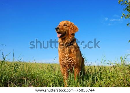 orange golden retriever dog portrait outdoors on green meadow over blue sky