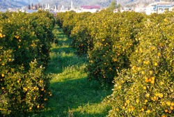 Orange grove in the province of Mugla. Turkey
