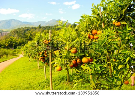 Orange groves and mountain backdrop