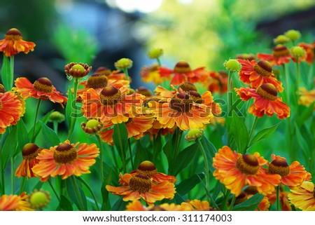 Orange Helenium