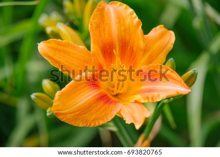 Orange Hemerocallis blooming closeup in europe garden