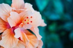 Orange hibiscus flower in Hawaii.