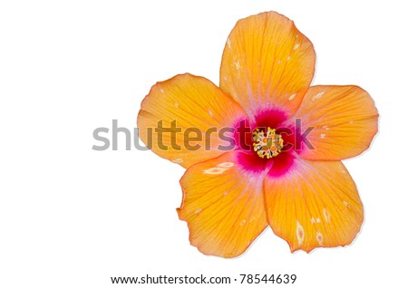 Orange Hibiscus flower isolated on white background