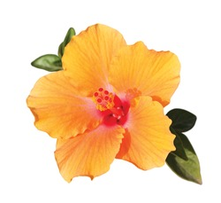 orange hibiscus flower with green leaves under sunlight isolated on white background