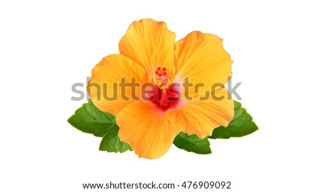 Orange Hibiscus flowers and green leaf on white background