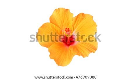 Orange Hibiscus flowers isolated on white background