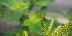 Orange insect, red cucurbit leaf beetle, Pumpkin beetle, Cucurbit Leaf beetle , Yellow Squash Beetle (Aulacophora indica) perched on the spinach tree, Natural blurred background.