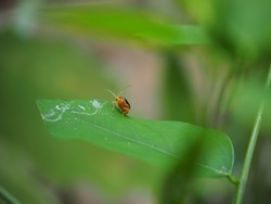 Orange insect, red cucurbit leaf beetle, Pumpkin beetle, Cucurbit Leaf beetle , Yellow Squash Beetle (Aulacophora indica) perched on the green leaves, Natural blurred background.
