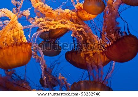 Orange Jellyfish #53232940