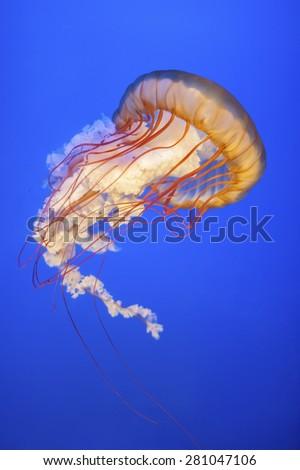 Orange jellyfish (Chrysaora fuscescens or Pacific sea nettle) in