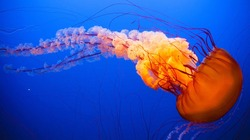 Orange Jellyfish dansing in the dark blue ocean water.