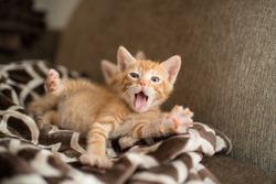 Orange Kitten Yawning