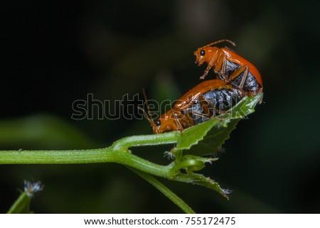 orange lady bug mating on leaf #755172475