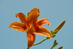 Orange Lily closeup against blue sky. One beautiful bright flower of orange Lily (Lilium) with buds closeup at background light blue sky.