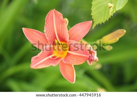 orange lily detail Zdjęcia stock ©