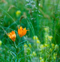 Orange lily, Fire lily or Tiger lily (Lilium bulbiferum) in Col de la Cayolle mountain pass of Ubaye Valley in Alps Haute Provence of Provence region of France, Europe