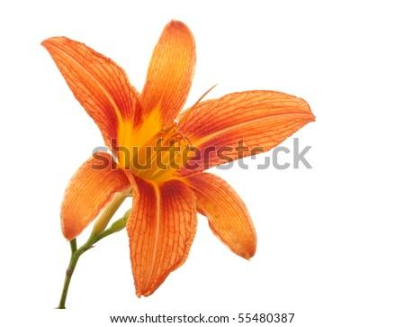 Orange lily flower,Lilium, isolated on white