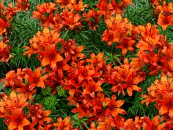 Orange lily flowers & leaves lilium background pattern. Beautiful orange lily (lilium) summer flower garden. Close-up orange madonna lily bush in flower bed. Gentle lilium pattern lilly texture print