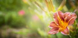Orange Lily on the background green summer Garden, banner