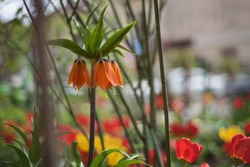 Orange lily Tsar's Crown on a flowerbed among tulips in spring