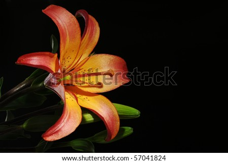 Orange lily with stamina and carpel on black (Selective Focus)