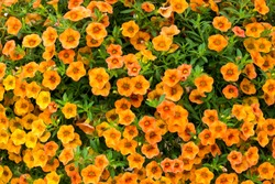 Orange little petunia - perfect for garden.