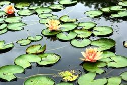 Orange lotus blooming in the pond.