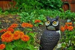 orange Magellan zinnia flowers blooming in the garden next to a realistic owl scarecrow