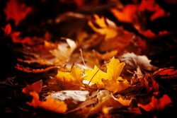 Orange maple leaves, autumnal natural background, selective focus