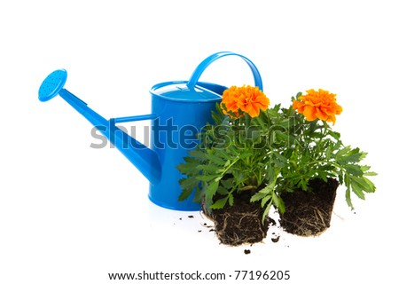 Orange Marigold flowers with blue watering can in studio on white background