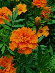 Orange marigold tagetes flower, surrounded by green foliage and other beautiful flowers. Big neon orange flowers in garden outside in summer. Closeup of flowers, macro shot taken in daylight.