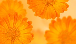 Orange medicinal herb Calendula flowers or Pot Marigold with water drops on a yellow gradient background. Beautiful wallpaper or greeting card. Long banner or template with free space.
