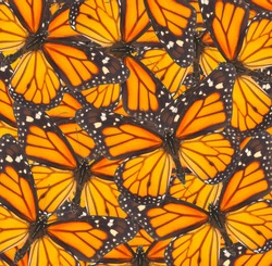 Orange monarch  butterfly close up natural  background