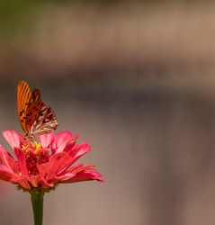 Orange monarch butterfly pollinating red zinnia flower with neutral background