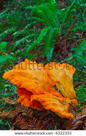 orange mushrooms in redwood forest of california